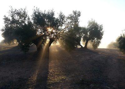 Amanecer en el olivar familiar. Foto tomada por el capataz Jose Francisco Cantón García. 6 de enero de 2020, día del fallecimiento de mi suegro D. Fernando de la Paz Revuelta Alonso